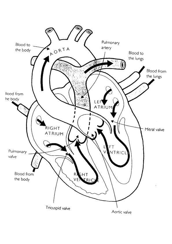 Anatomy And Physiology Coloring Pages At GetDrawings Free Download