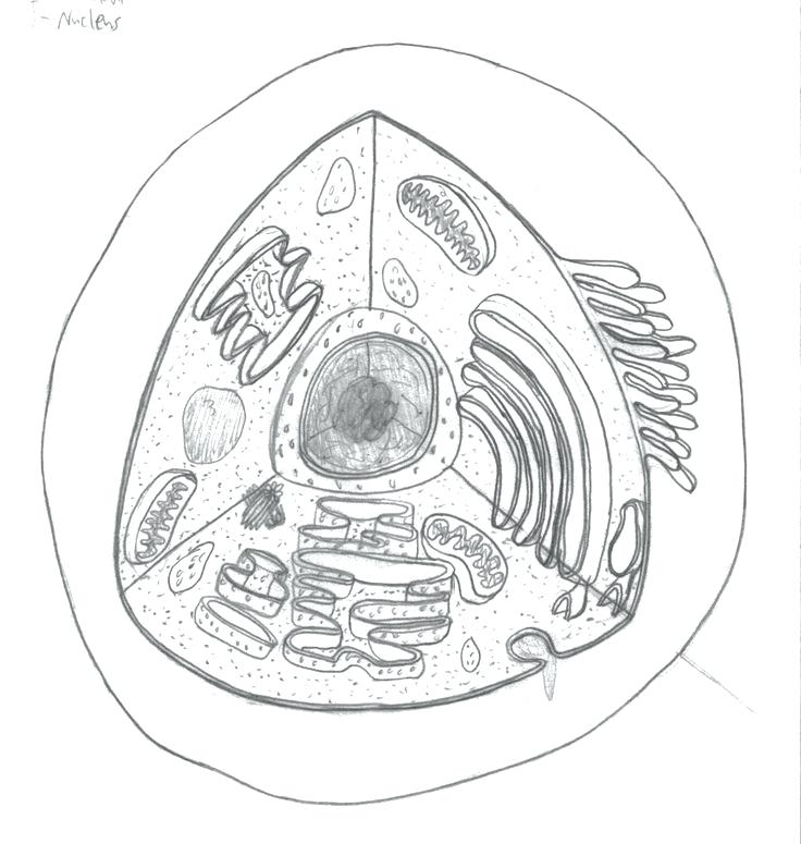 736x775 Amusing Human Cell Coloring Page Anatomy And Physiology Coloring