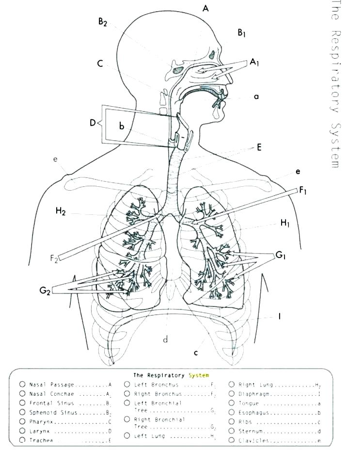 718x932 Anatomy Physiology Coloring Workbook Page Respiratory System