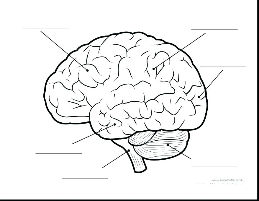 878x680 Brain Anatomy Coloring Pages Brain Anatomy Coloring Book As Well