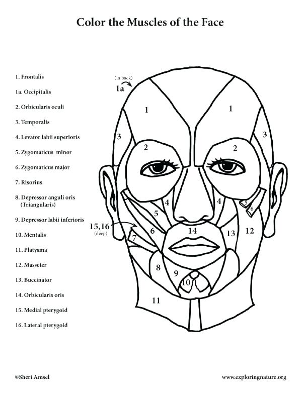 612x792 Anatomy Muscle Coloring Pages Free Printable Anatomy Colouring