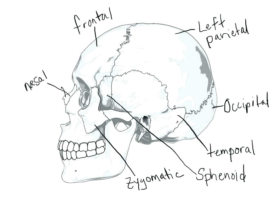 940x705 Skull Coloring Pages Anatomy Human Anatomy Coloring Pages Heart
