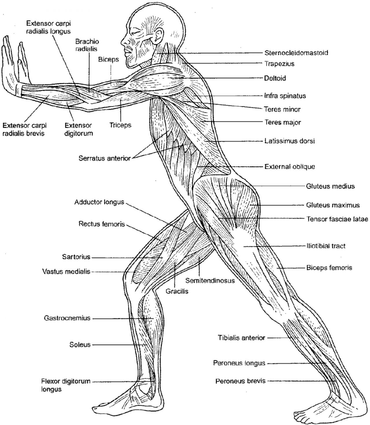 Anatomy Coloring Pages Muscles