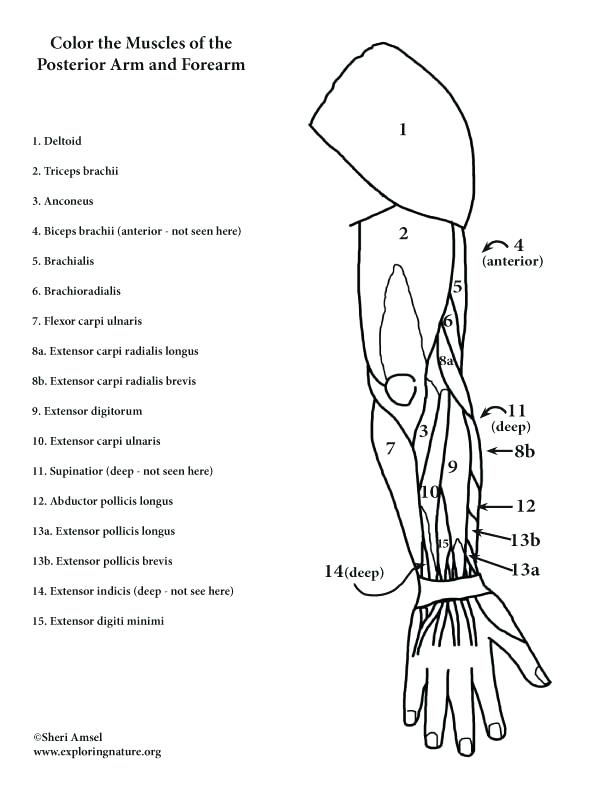 612x792 Anatomy Muscle Coloring Pages Muscles Arm Posterior At Muscle