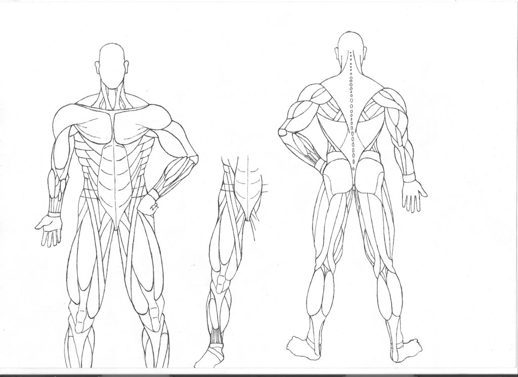 1024x745 Human Anatomy Coloring Pages Muscles Human Anatomy