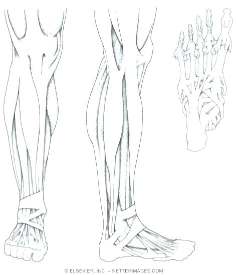 Anatomy Coloring Pages Muscles At Getdrawings Com Free For