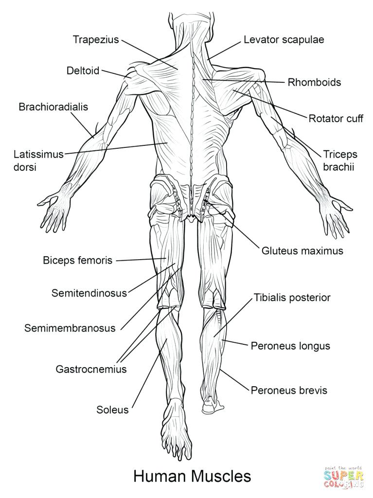 767x1024 Anatomy Coloring Pages Muscles Free
