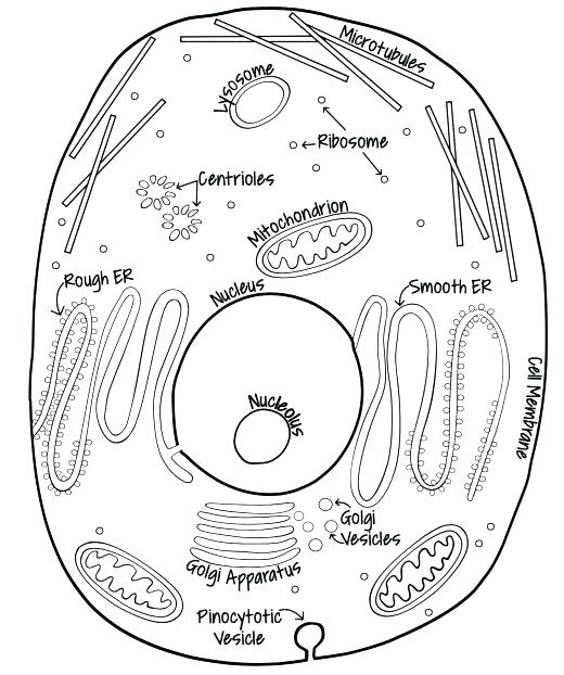 Animal Cell Coloring Page at GetDrawings.com | Free for personal use ...