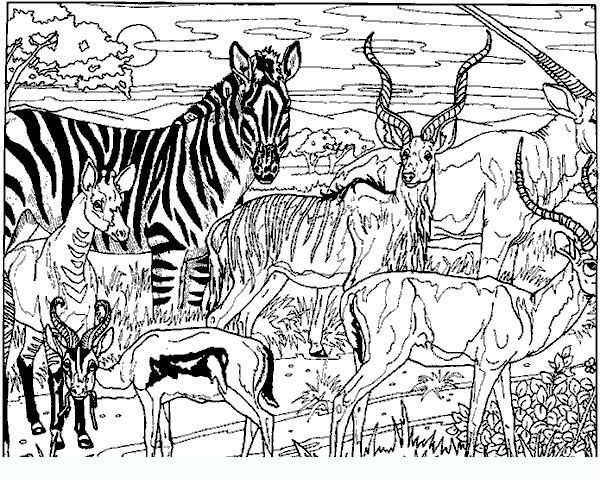 600x478 Zebra Adult Coloring Pages Animal Colouring Pages