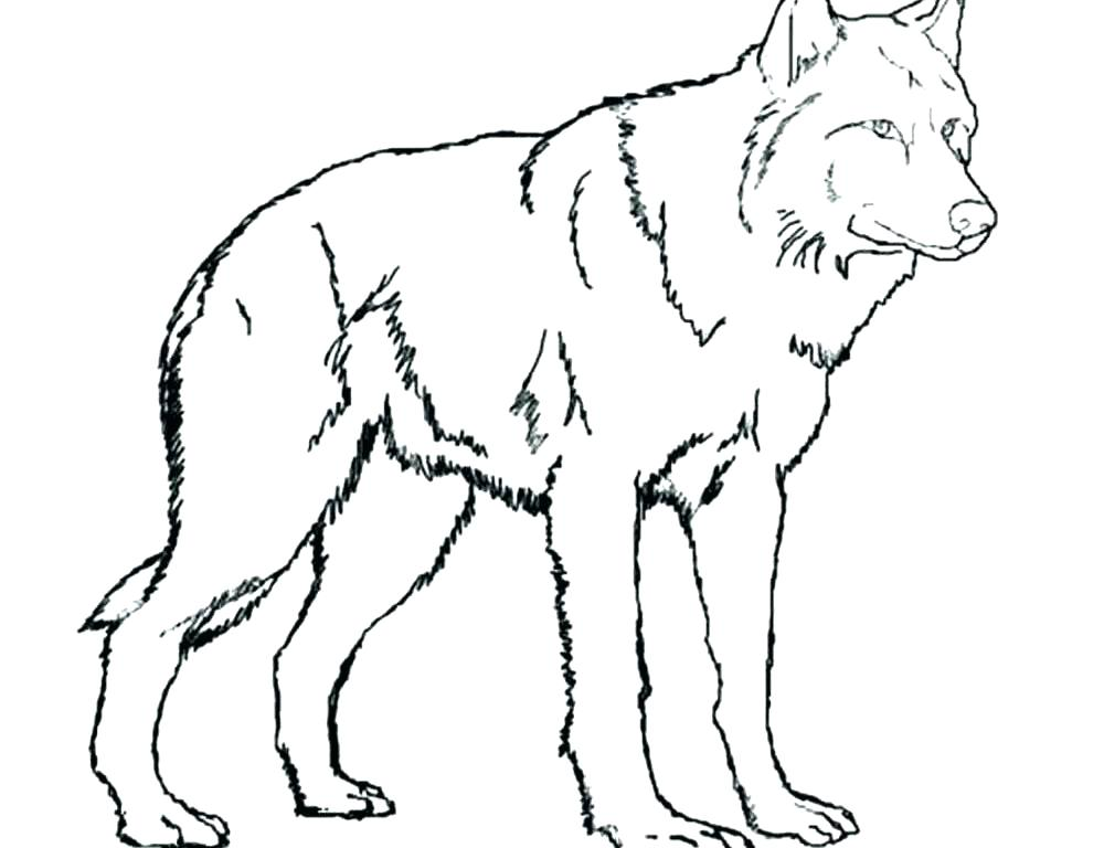 1000x768 Polar Animal Coloring Pages For Arctic Wolf Arctic Animal Polar