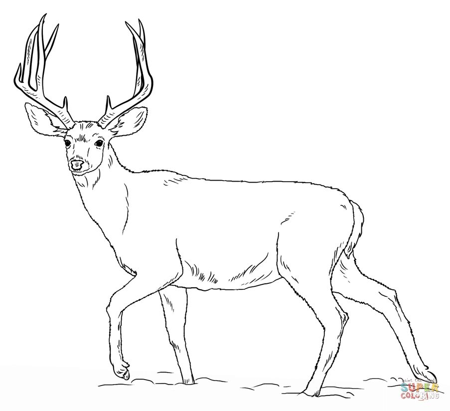 903x824 Deers Coloring Pages Free Coloring Pages Deer Coloring Pages