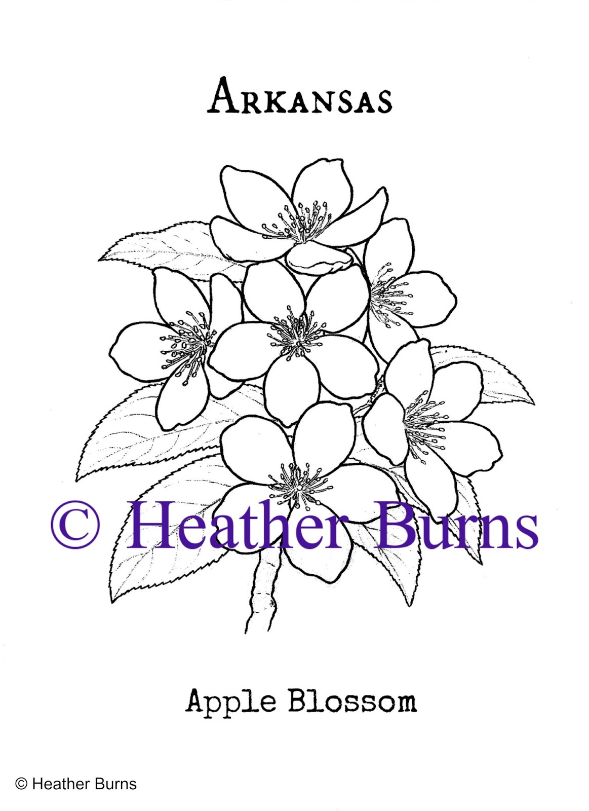 1163x1600 State Flower Coloring Book Arkansas Apple Blossom Coloring Page