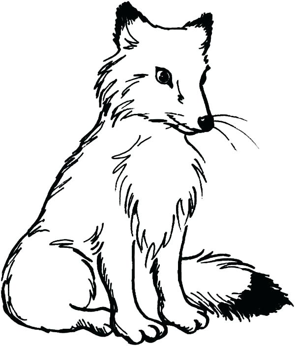 600x702 Arctic Fox Coloring Page Polar Fox Coloring Page Pencil