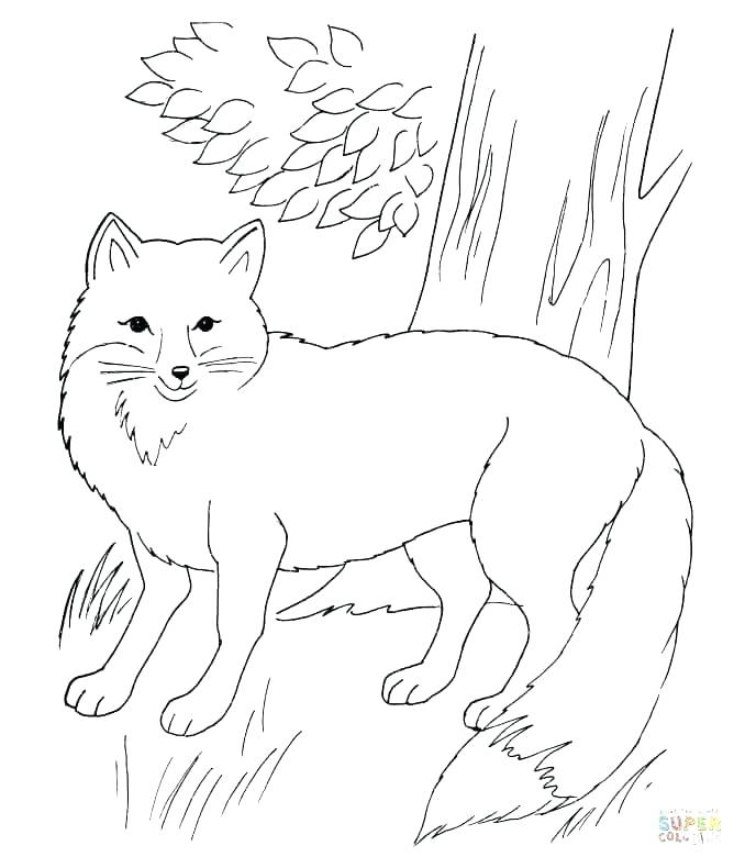 678x790 Arctic Fox Coloring Page