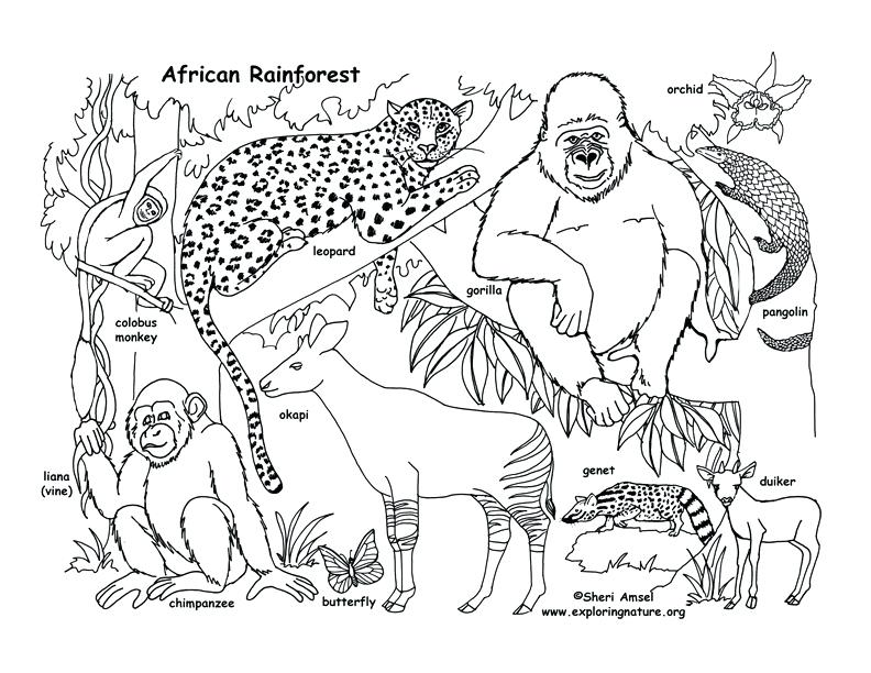 792x612 Rainforest Animals Coloring Pages And Drawn Jungle Ecosystem