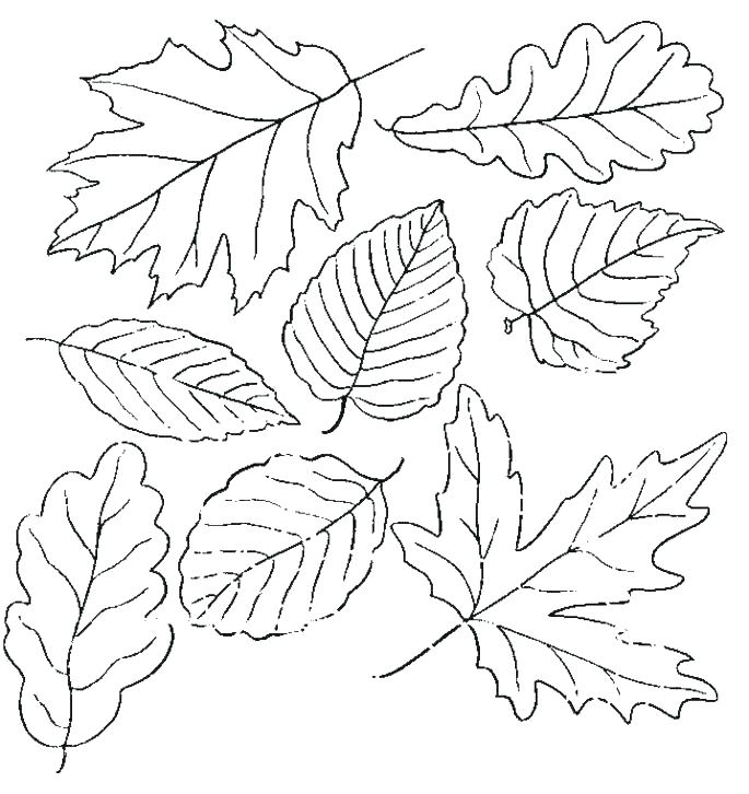 685x726 Autumn Leaf Outline