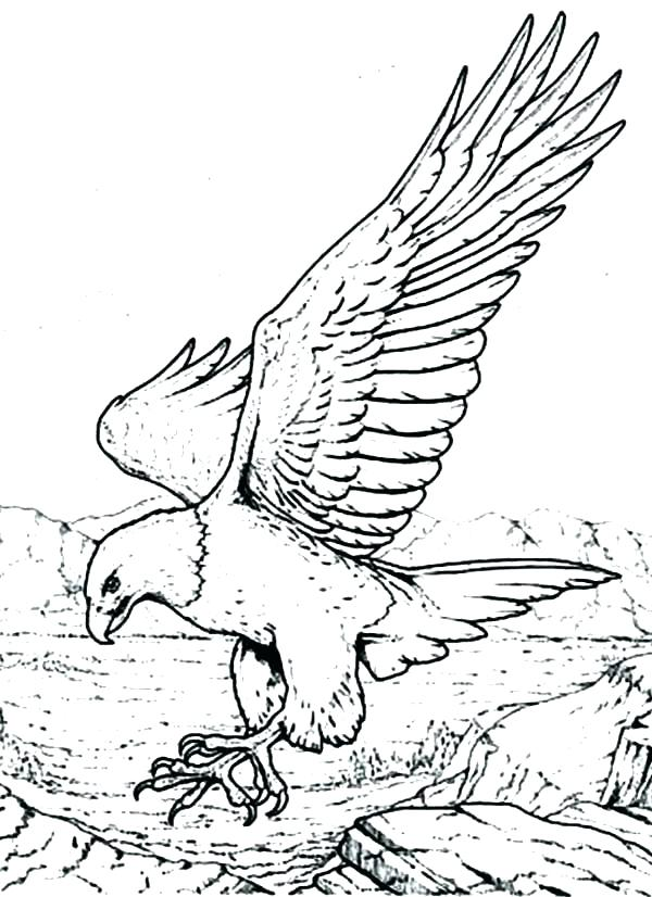 600x826 Eagle Coloring Picture Baby Eagle Coloring Pages Golden Eagle