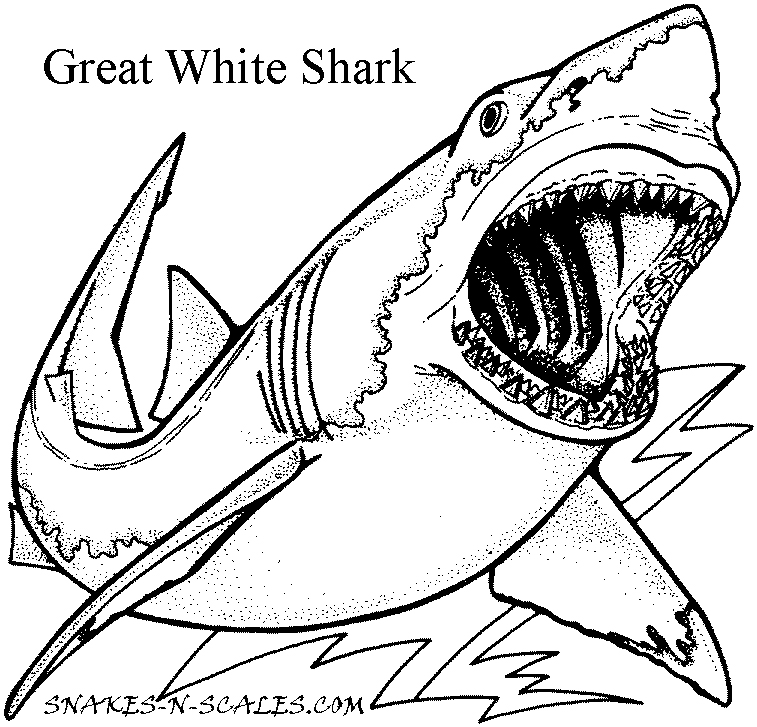 757x727 Great White Shark Coloring Page Snakes N Scales
