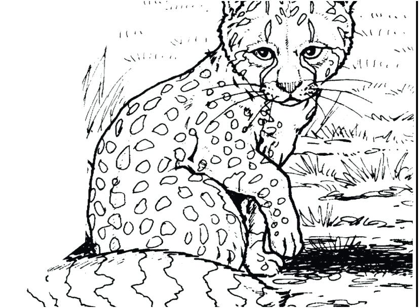 827x609 Baby Snow Leopard Drawing At Free For Personal Use Beautiful Snow