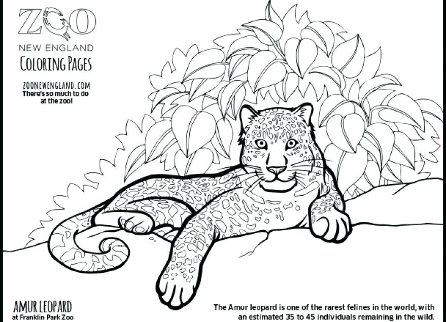 879x635 Amur Leopard Coloring Pages Baby Snow Leopard Coloring Pages