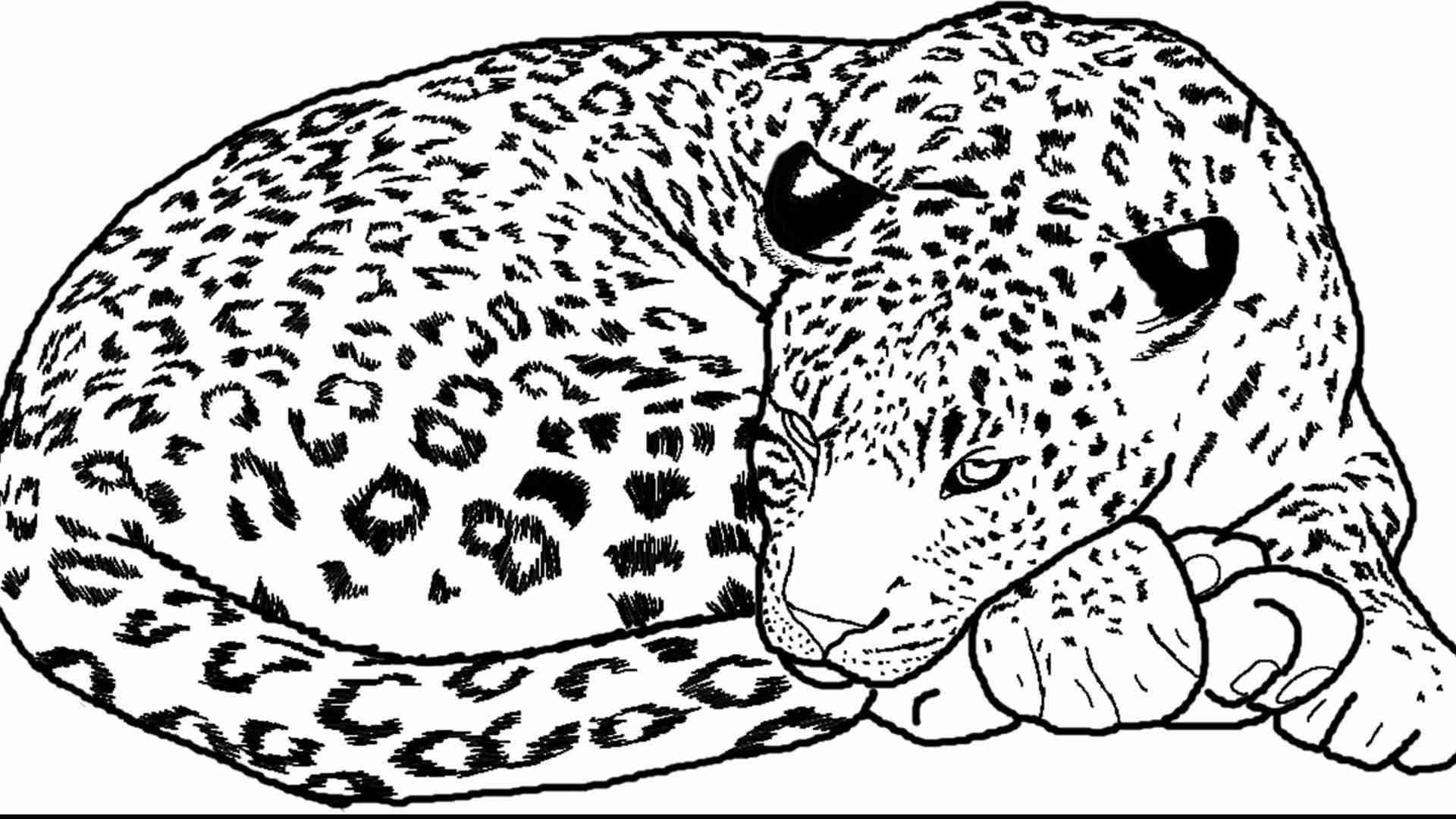 1920x1080 Leopards Coloring Pages Free And Snow Leopard Olegratiy