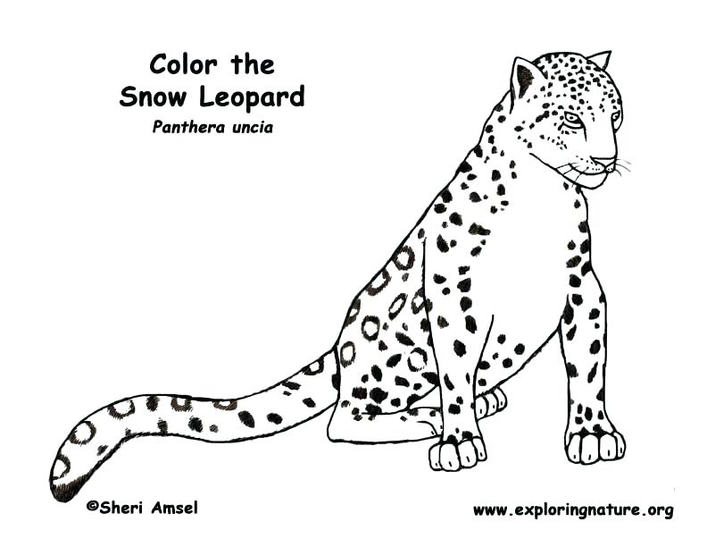 792x612 Snow Leopard Color Leopard Being Cautious Coloring Pages Animal
