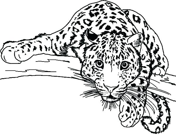 600x461 Amur Leopard Coloring Pages Snow Leopard Coloring Pages Drawn Snow