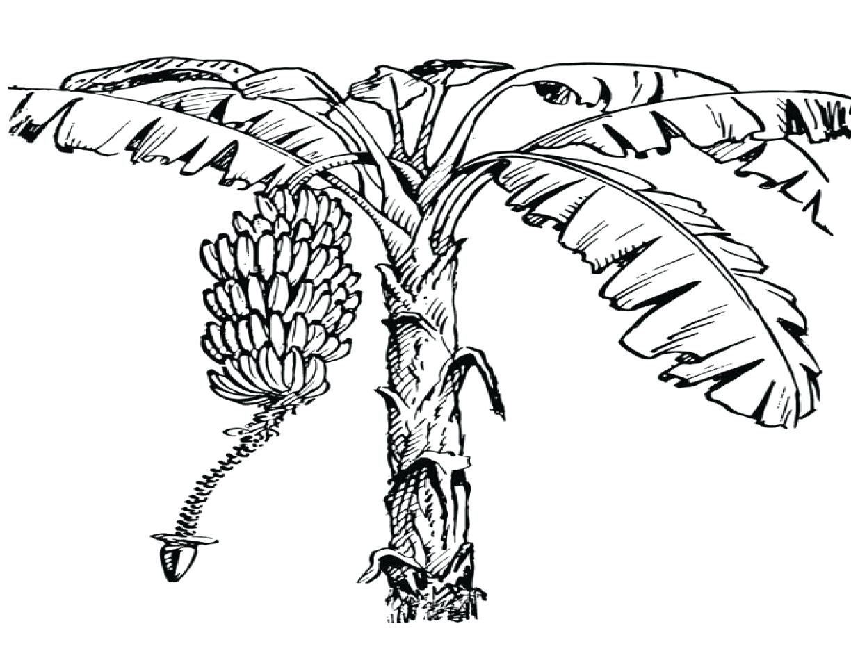 1224x960 Odd Banana Tree Coloring Page Fruits