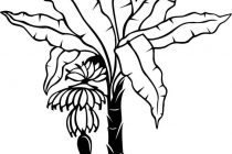 210x140 Banana Tree Coloring Page Banana Tree Drawing Google Search