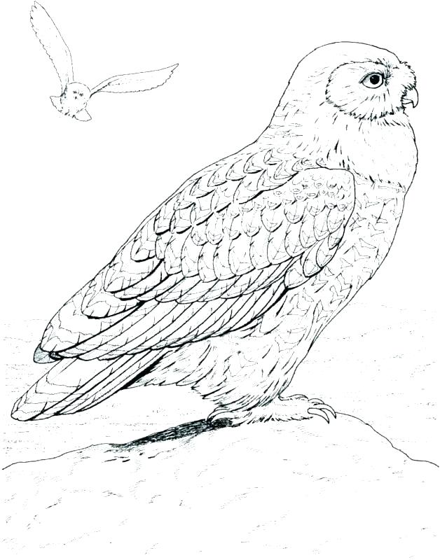 628x800 Barn Owl Coloring Pages Owl Coloring Page Snowy Owl Coloring Page