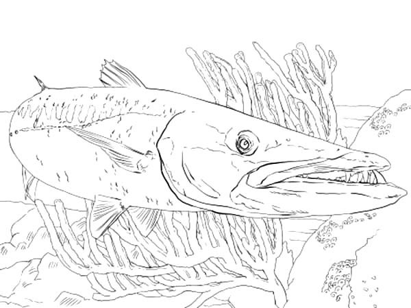 600x449 Barracuda Fish Between Reefs Coloring Pages Best Place To Color