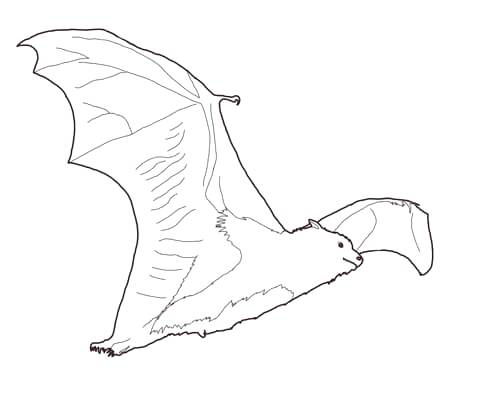 480x400 Fruit Bat Coloring Page Free Printable Coloring Pages Click To See