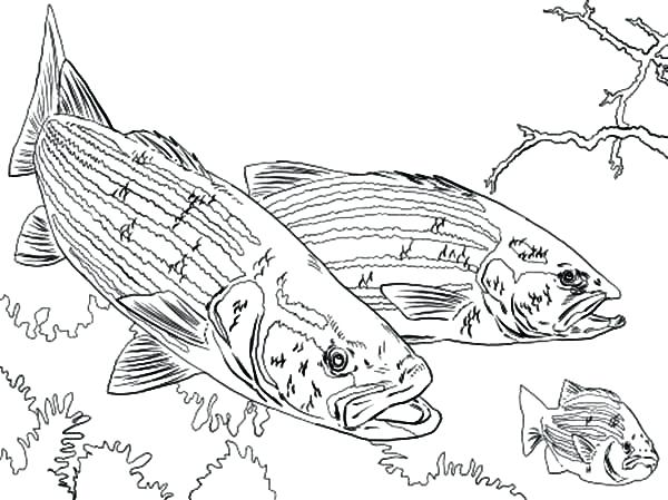 600x449 Bass Coloring Pages Bass Fish Chasing Little Fish Coloring Pages