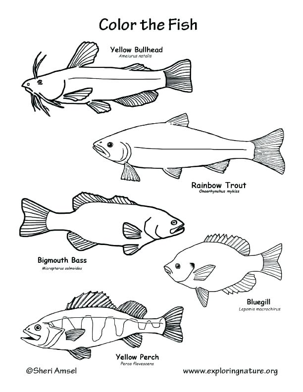 612x792 Fish Color Pages Ravishing Freshwater Fish Coloring Pages State