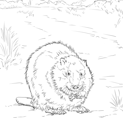 480x461 Canadian Beaver Coloring Page Beavers Category Select