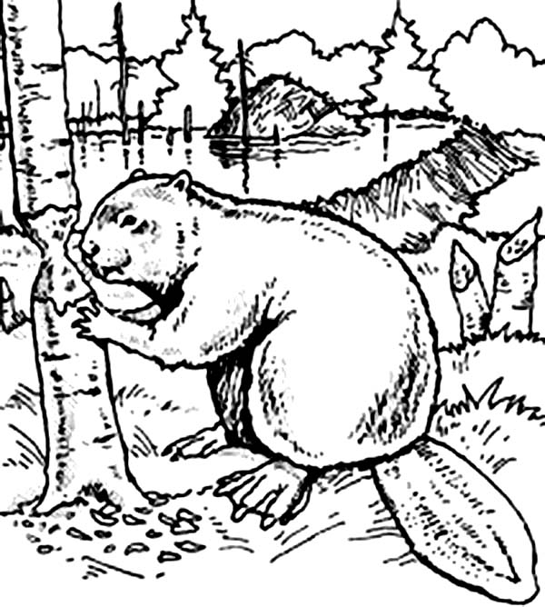 600x668 Beaver Coloring Page
