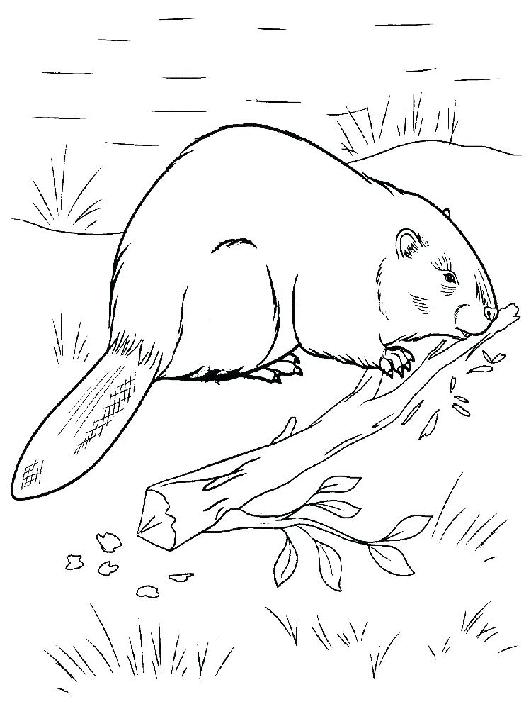 750x1000 Beaver Coloring Page Beavers Coloring Page Canadian Beaver