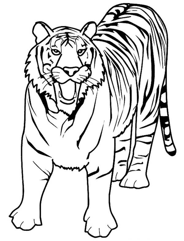 600x786 A Loud Roaring Of Bengal Tiger Coloring Page