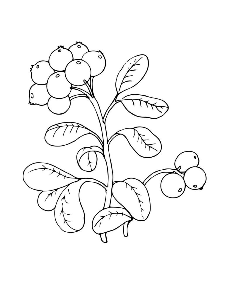 768x1024 Lingonberry Or Cowberry Coloring Page Picture