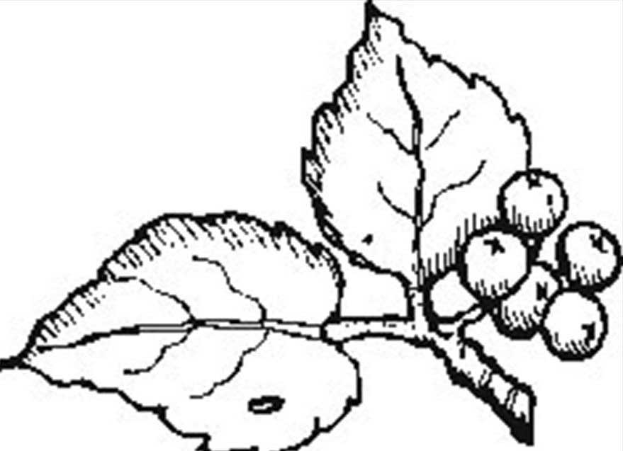 879x637 Berries Berry Coloring Pages To Girls