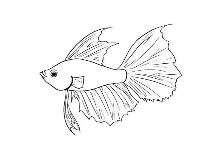 700x500 Siamese Fighting Fish Coloring Pages Betta Fish Coloring Pages