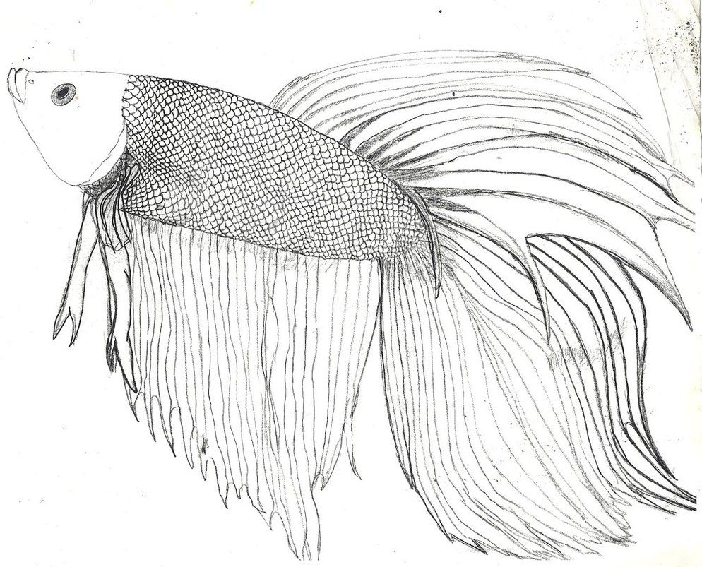994x803 How To Draw A Betta