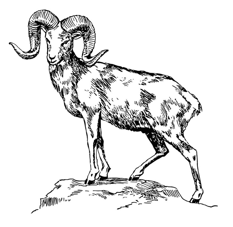 750x730 Coloring Page Mountain Sheep