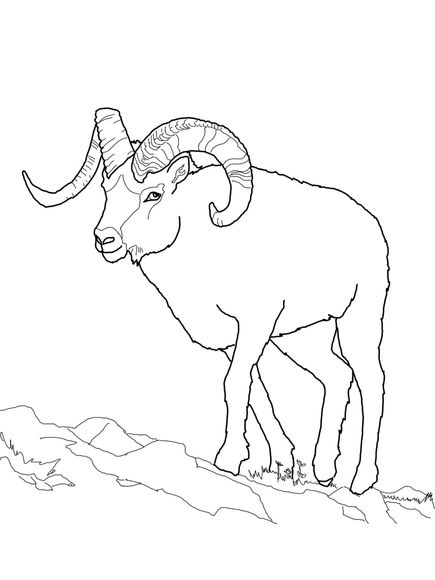 435x580 Dall Sheep Coloring Page
