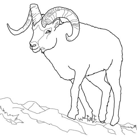 480x480 Bighorn Sheep Coloring Pages Free Printable Bighorn Sheep