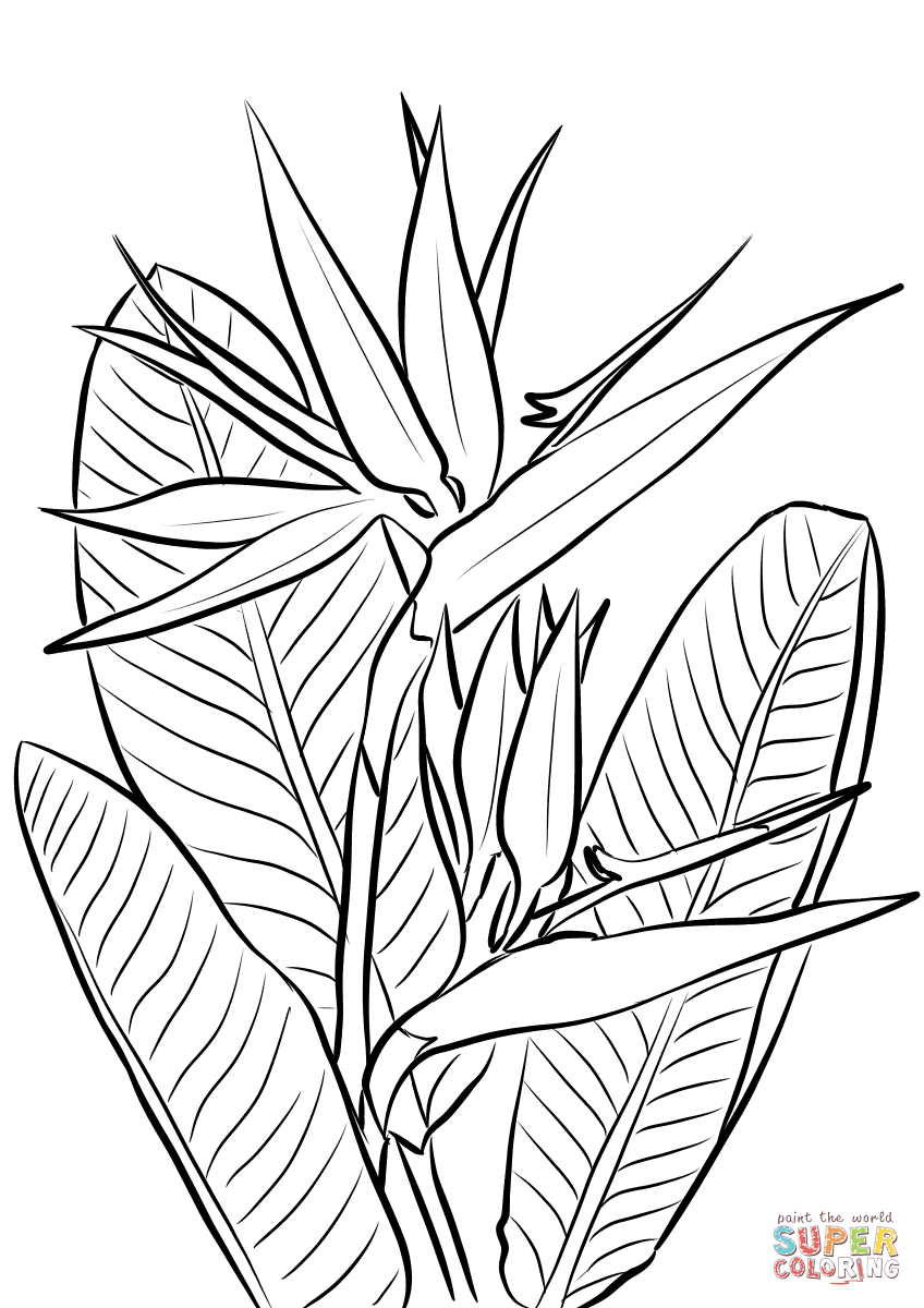 848x1200 Secrets Bird Of Paradise Coloring Page Plant Free Printable Pages