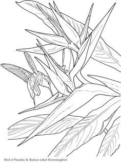 236x317 Bird Of Paradise Flower Coloring Page Super Coloring Stained