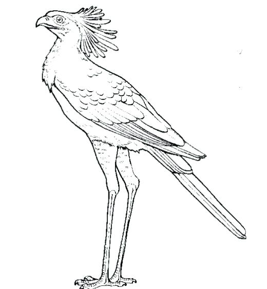 520x564 Free Coloring Pages Of Birds Of Prey Free Coloring Pages Of Birds