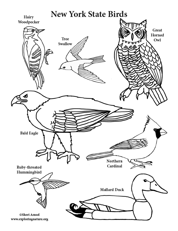 612x792 New York State Birds Coloring Page