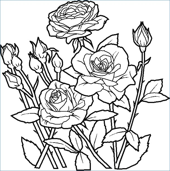 593x596 Rose Flower Coloring Pages Kids